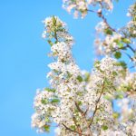 spring into action: white blossom on tree in sunshine