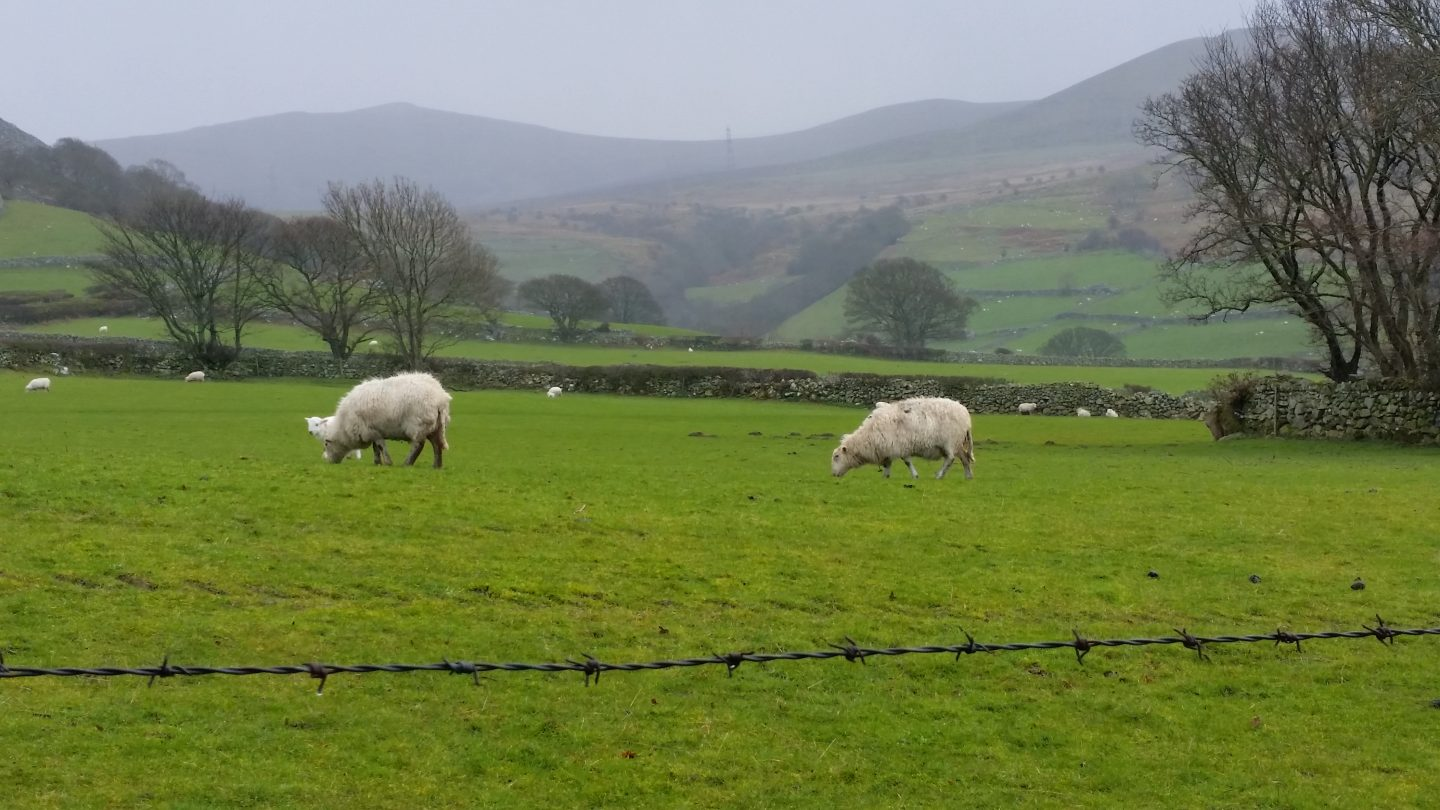UK by train :sheep in green Welsh valley