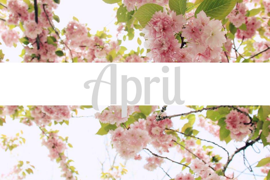 April cherry blossom tree: love loathe