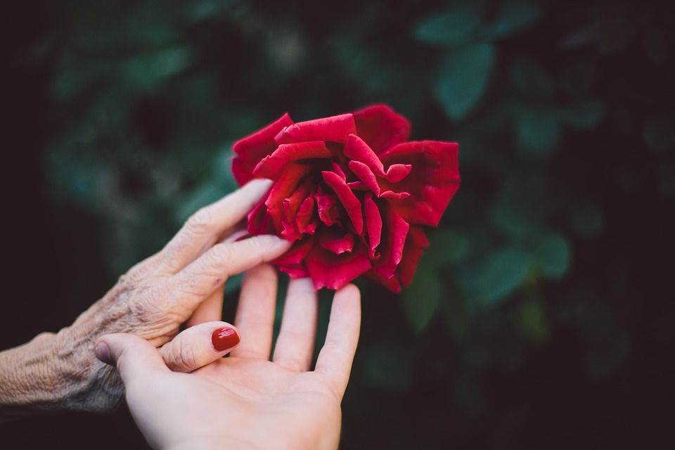 Understanding Health Problems that Primarily Affect the Elderly: Hands of a young girl and an old lady together touching a red rose.