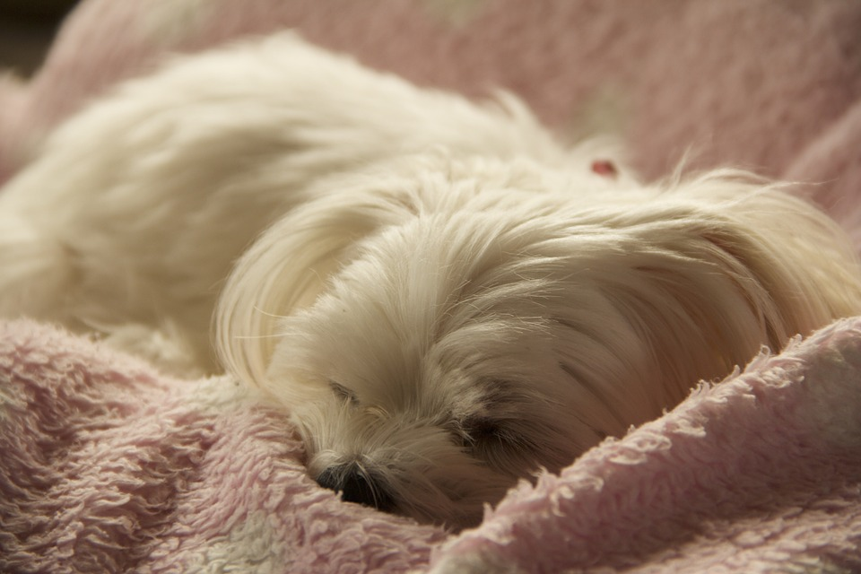 white little dog resting on pink and white blanket.