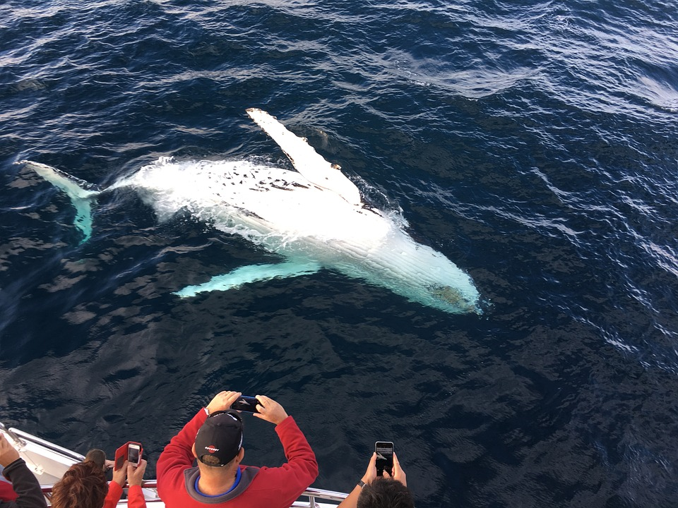 whale watching in australia: whale turning over in the sea.