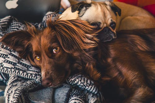 "famous pets"" brown and grey dog cuddling each other."