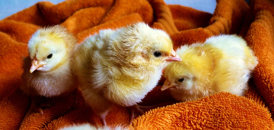 3 yellow baby chicks on a brown towel: chickens