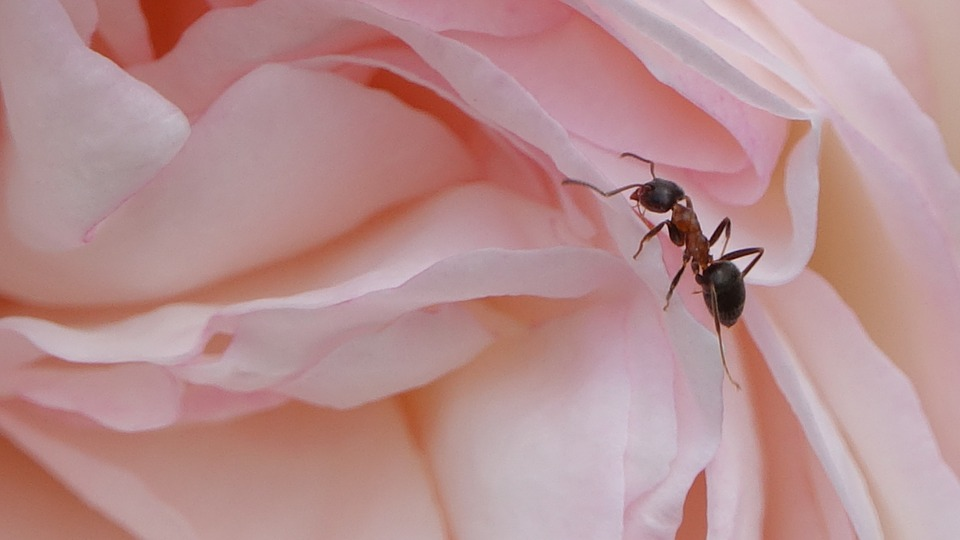 pest free: large ant on a pink rose.