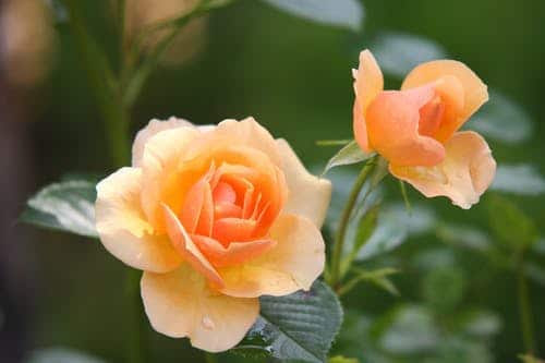 tips on gift giving: orange roses