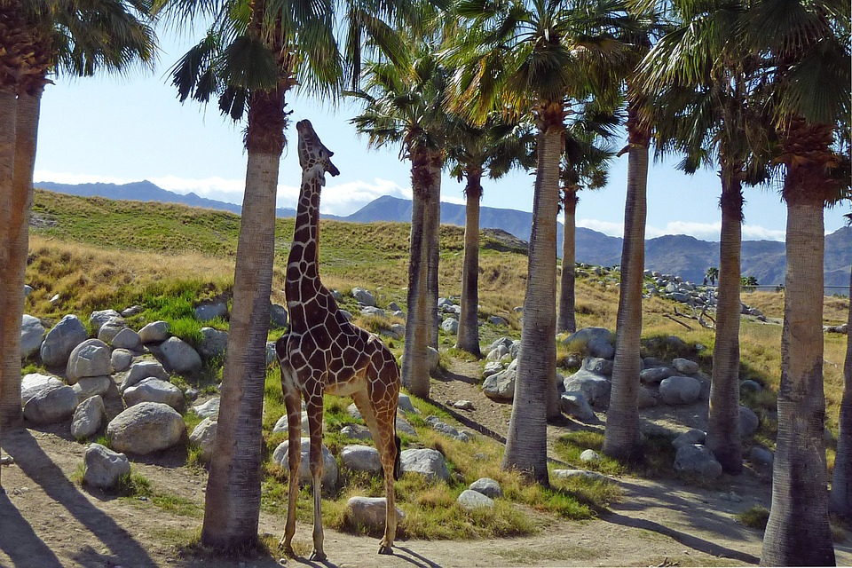giraffe reaching to eat from palm tree at living desert zoo in california: California glamping trip locations