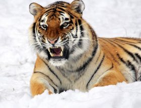 tiger in the snow: saving our animals