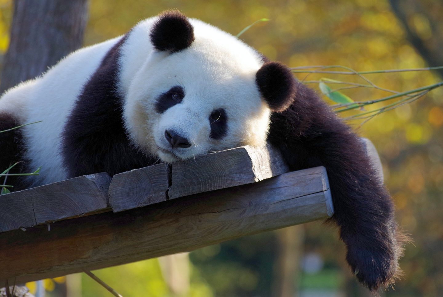 Bamboo cloth is used for men's underwear and this sleeping panda agrees Bamboo is comfortable