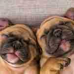 2 smiling bulldogs: CBD for dogs