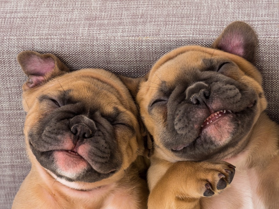 2 smiling bulldogs: CBD for dogs
