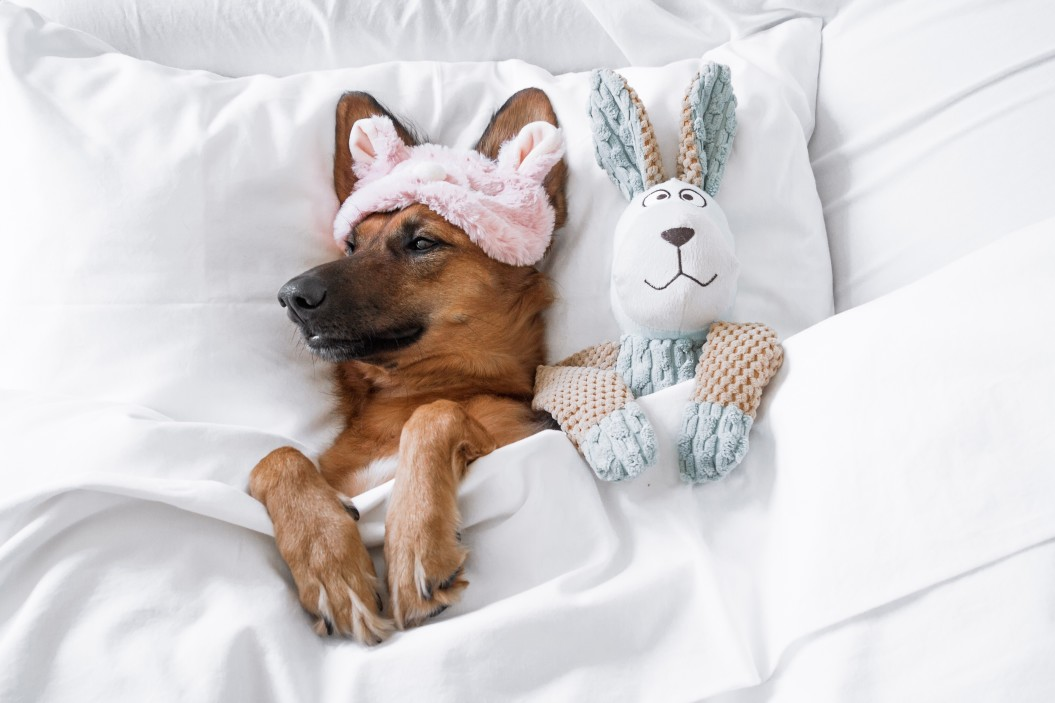 dog in bed with soft toy bunny rabbit. CBD for Dogs.